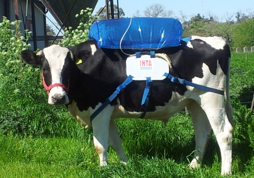 A gas-collecting cow backpack in Argentina collects, purifies and compresses biomethane to be used to generate energy.