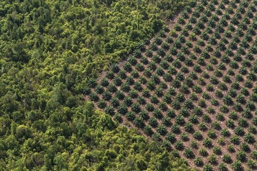 Palm Oil Industry, Wildlife, Destruction, Habitat, Orangutans, Sumatra, Climate change, deforestation, Indonesia, Asia, South America