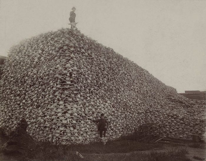 Protecting the buffalo from overhunting in Canada protected a key traditional way of life for Indigenous people on the Prairies.